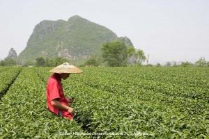 plantaciones-de-té