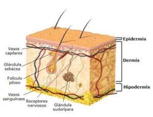 glandulas-sudoriparas-4