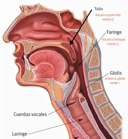 laringe-faringe1