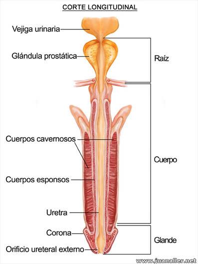 Lesioni cutanee peniene - Disturbi genitourinari - Manuali MSD Edizione Professionisti