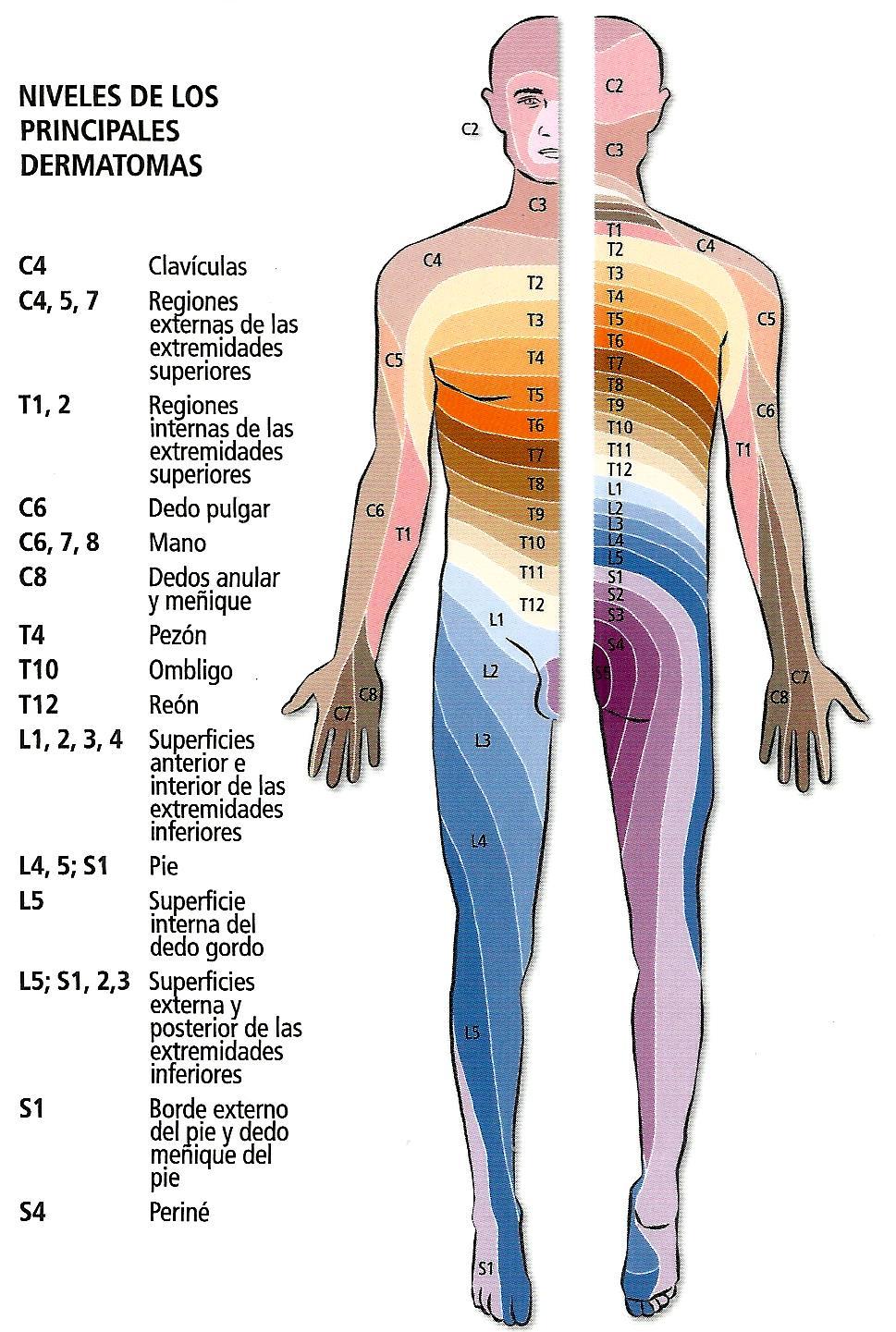 Nervios. Inervación Sensitiva | Tu médico al teléfono