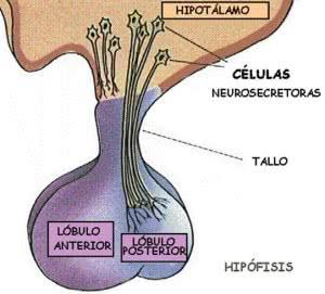 hipofisis-pituitaria_image002